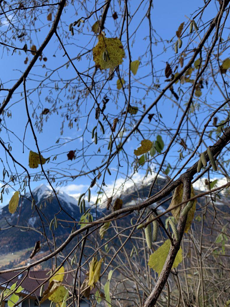 Strahlend blauer Himmel, weisse Bergspitzen und Haselnusssträucher